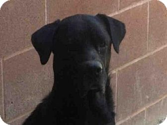 Labrador Retriever Mix Dog for adoption in Missoula, Montana - MACK