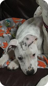 Dalmatian/American Bulldog Mix Puppy for adoption in Greenwood, Louisiana - Rarity