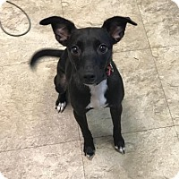 Adopt A Pet :: Onyx - Chicago, IL