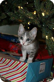 Domestic Shorthair Kitten for adoption in ROSENBERG, Texas - Skye