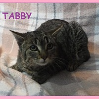 Adopt A Pet :: Tabby - Batesville, AR