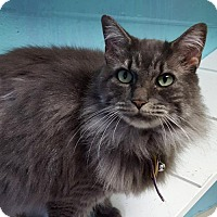 Domestic Longhair Cat for adoption in Prattville, Alabama - Heather 24664