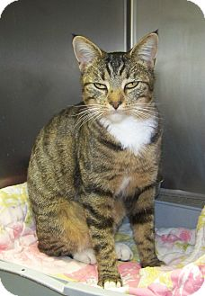Domestic Shorthair Cat for adoption in Dover, Ohio - Penny Lane