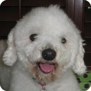 Bichon Frise Mix Dog for adoption in La Costa, California - Sparkle