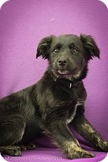Shepherd (Unknown Type)/Terrier (Unknown Type, Medium) Mix Puppy for adoption in Broomfield, Colorado - Bagel