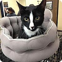 Domestic Shorthair Cat for adoption in Atlanta, Georgia - Bailey