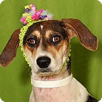 Adopt A Pet :: Pie - Courtesy Listing - Cheshire, CT