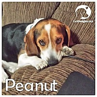Adopt A Pet :: Peanut - Novi, MI