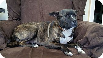 Boston Terrier/Pug Mix Dog for adoption in Hermitage, Tennessee - Journey