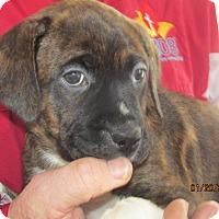 Adopt A Pet :: Edie - Germantown, MD