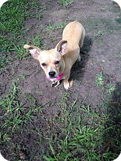 Chihuahua Mix Dog for adoption in Houston, Texas - Mali