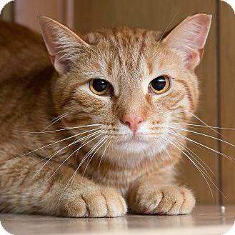 Domestic Shorthair Cat for adoption in New  York City, New York - Dewey