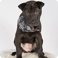 Shar Pei Mix Puppy for adoption in St. Louis Park, Minnesota - Laverne
