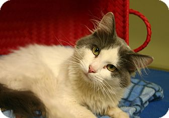 Domestic Longhair Cat for adoption in Hastings, Nebraska - Gizmo