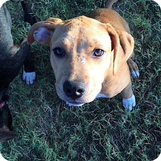 Hound (Unknown Type)/Labrador Retriever Mix Puppy for adoption in Austin, Texas - Gretel