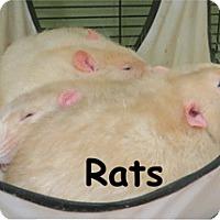 Rat for adoption in Warren, Pennsylvania - Rat