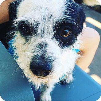 Terrier (Unknown Type, Medium) Mix Dog for adoption in Marina del Rey, California - Houdini