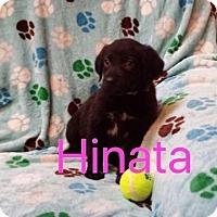 Adopt A Pet :: Hinata - Hainesville, IL