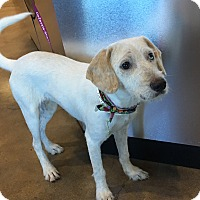 Adopt A Pet :: Layla - Redmond, WA