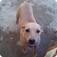 Labrador Retriever/Rhodesian Ridgeback Mix Dog for adoption in San Diego, California - Kiara