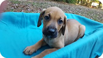 Hound (Unknown Type) Mix Puppy for adoption in Alexandria, Virginia - Twerp
