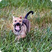 Adopt A Pet :: Pudge - ST LOUIS, MO