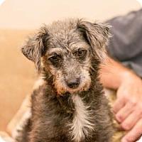 Adopt A Pet :: Sassy - Santa Fe, TX