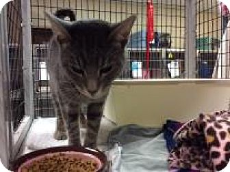 Domestic Shorthair Cat for adoption in Janesville, Wisconsin - Ezra