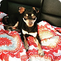 Chihuahua/Dachshund Mix Dog for adoption in Rancho Santa Fe, California - Elton