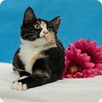 Domestic Shorthair Kitten for adoption in Houston, Texas - Simone