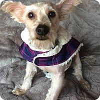 Adopt A Pet :: Bam Bam - Warwick, NY