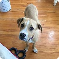Adopt A Pet :: Blaze - Smithtown, NY