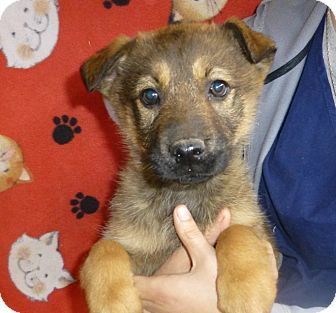 Golden Retriever/German Shepherd Dog Mix Puppy for adoption in Oviedo, Florida - Hanna