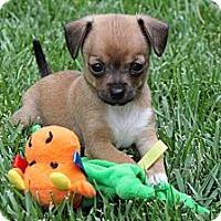 Adopt A Pet :: Tiny Barney - La Habra Heights, CA