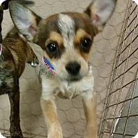 Adopt A Pet :: Merryweather - Phoenix, AZ