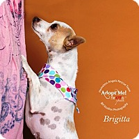 Adopt A Pet :: Briggitta - Houston, TX