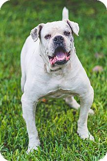 English Bulldog Dog for adoption in Miami, Florida - Lenny