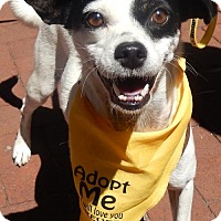 Rat Terrier/Terrier (Unknown Type, Medium) Mix Dog for adoption in Rockville, Maryland - Elsie