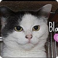 Adopt A Pet :: Blanket (adoption fee $150) - Windham, NH