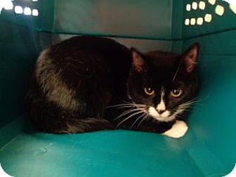Domestic Shorthair Cat for adoption in St Augustine, Florida - Oreo