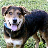 Shepherd (Unknown Type)/Hound (Unknown Type) Mix Dog for adoption in Portland, Maine - ACE
