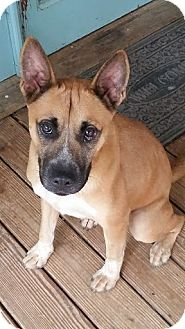 Boxer/Shepherd (Unknown Type) Mix Dog for adoption in Rowayton, Connecticut - Leo Coming Attraction