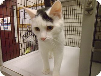 Domestic Shorthair Cat for adoption in Muscatine, Iowa - Joker