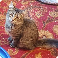 Domestic Mediumhair Kitten for adoption in Southington, Connecticut - Pebbles