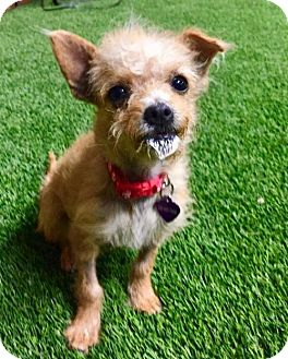 Terrier (Unknown Type, Medium) Mix Puppy for adoption in Sun Valley, California - TRISKET