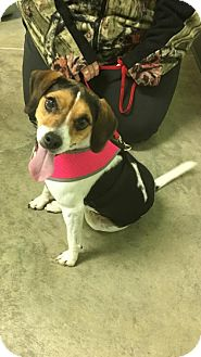 Beagle/Terrier (Unknown Type, Medium) Mix Dog for adoption in Estherville, Iowa - Lilly