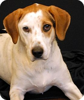Labrador Retriever/Hound (Unknown Type) Mix Dog for adoption in Newland, North Carolina - Silas *Trained