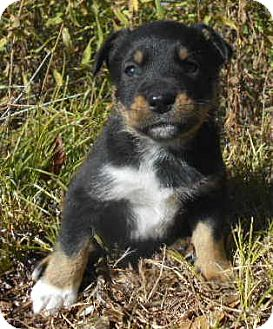 Australian Cattle Dog/Cardigan Welsh Corgi Mix Puppy for adoption in Allentown, New Jersey - Polo
