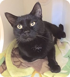 Domestic Shorthair Cat for adoption in Newport, Oregon - OKSANA