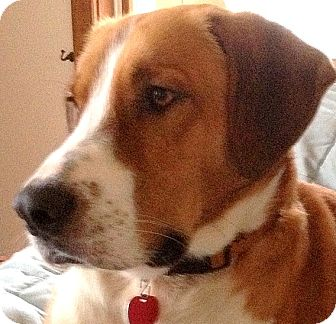 Great Dane/Foxhound Mix Dog for adoption in Wakefield, Rhode Island - BAXTER(GORGEOUS DANE MIX PUP!!